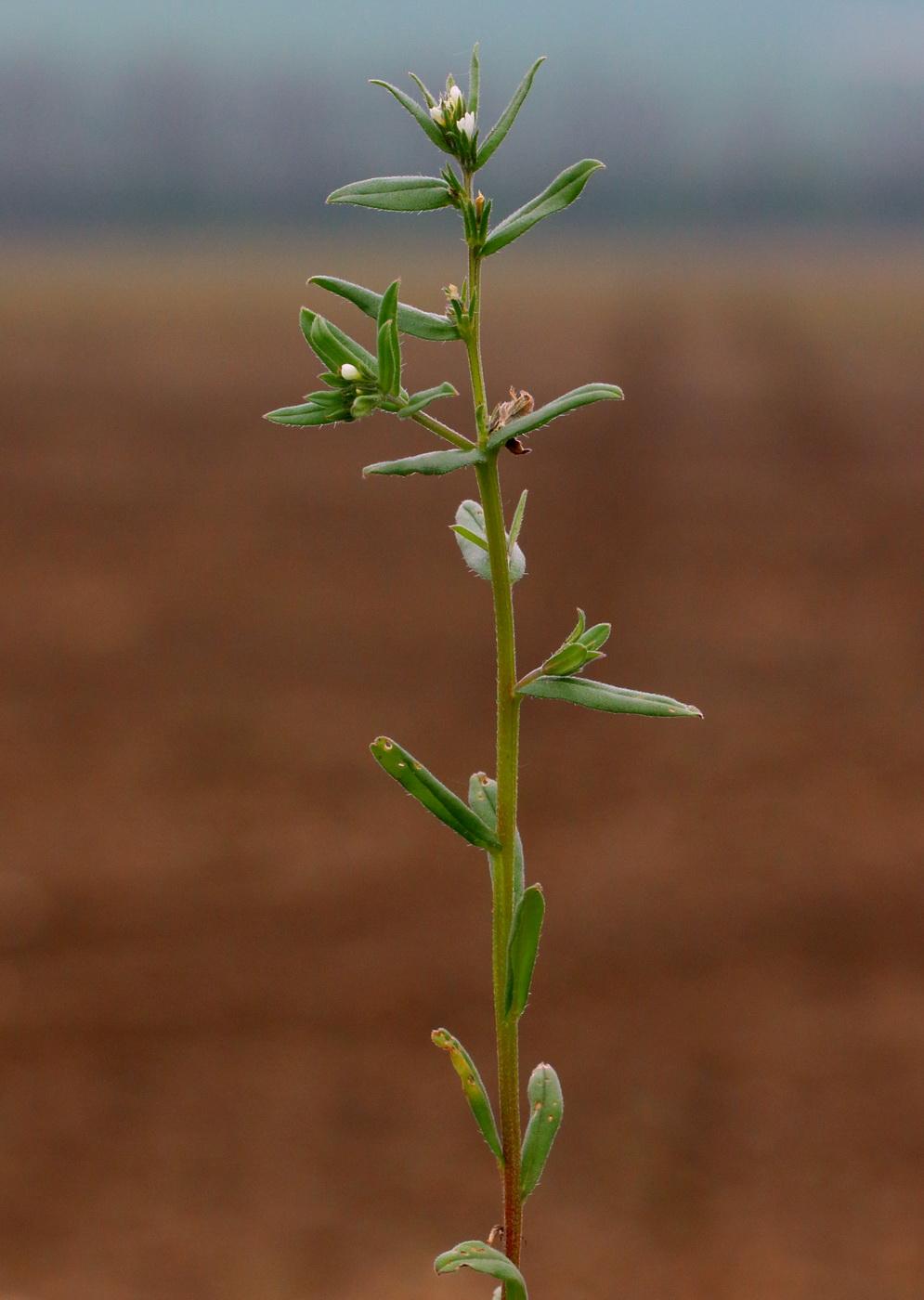 Буглоссоидес полевой (Buglossoides arvensis)