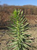 Linaria ruthenica