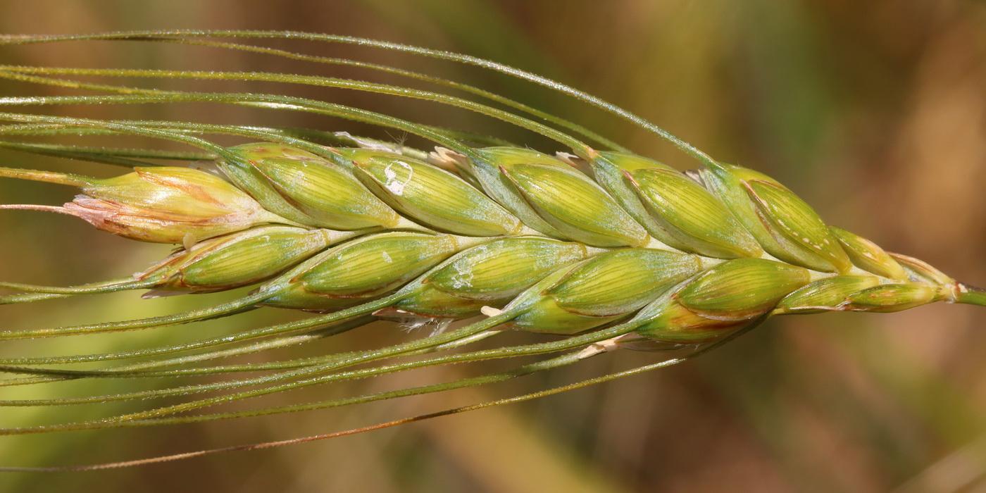 Пшеница двузернянка (Triticum dicoccon)