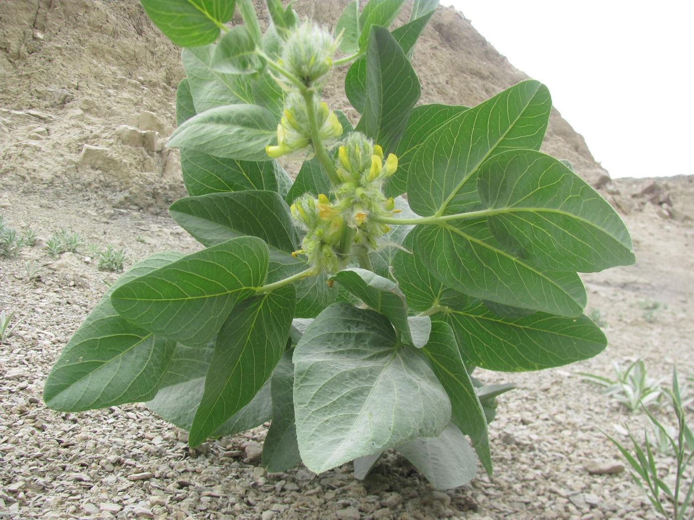 Изображение растения Astragalus terrae-rubrae.