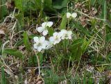 Viola patrinii
