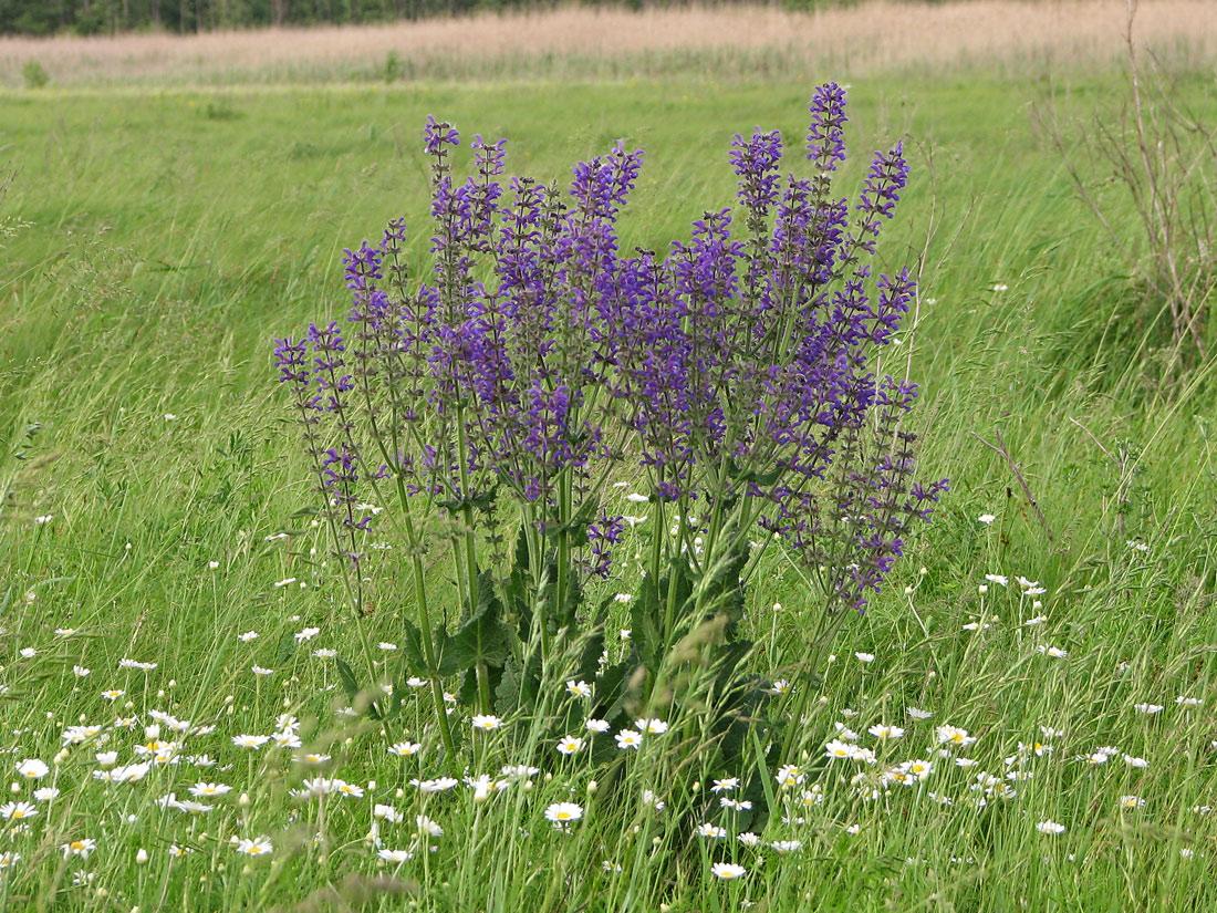 Полевые цветы саратовской области фото и описание