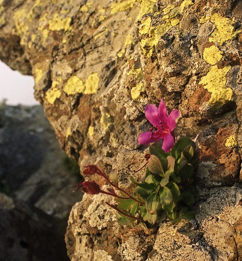 Картинки цветок на скале