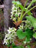 Ribes fragrans