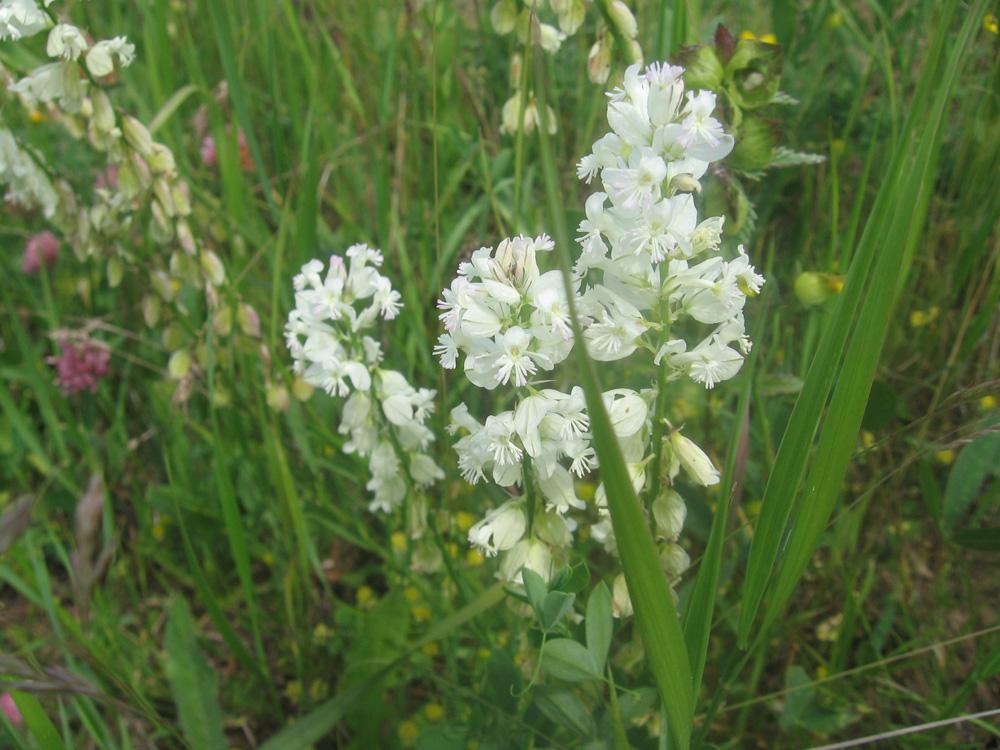 Изображение растения Polygala anatolica.