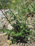 Apiaceae