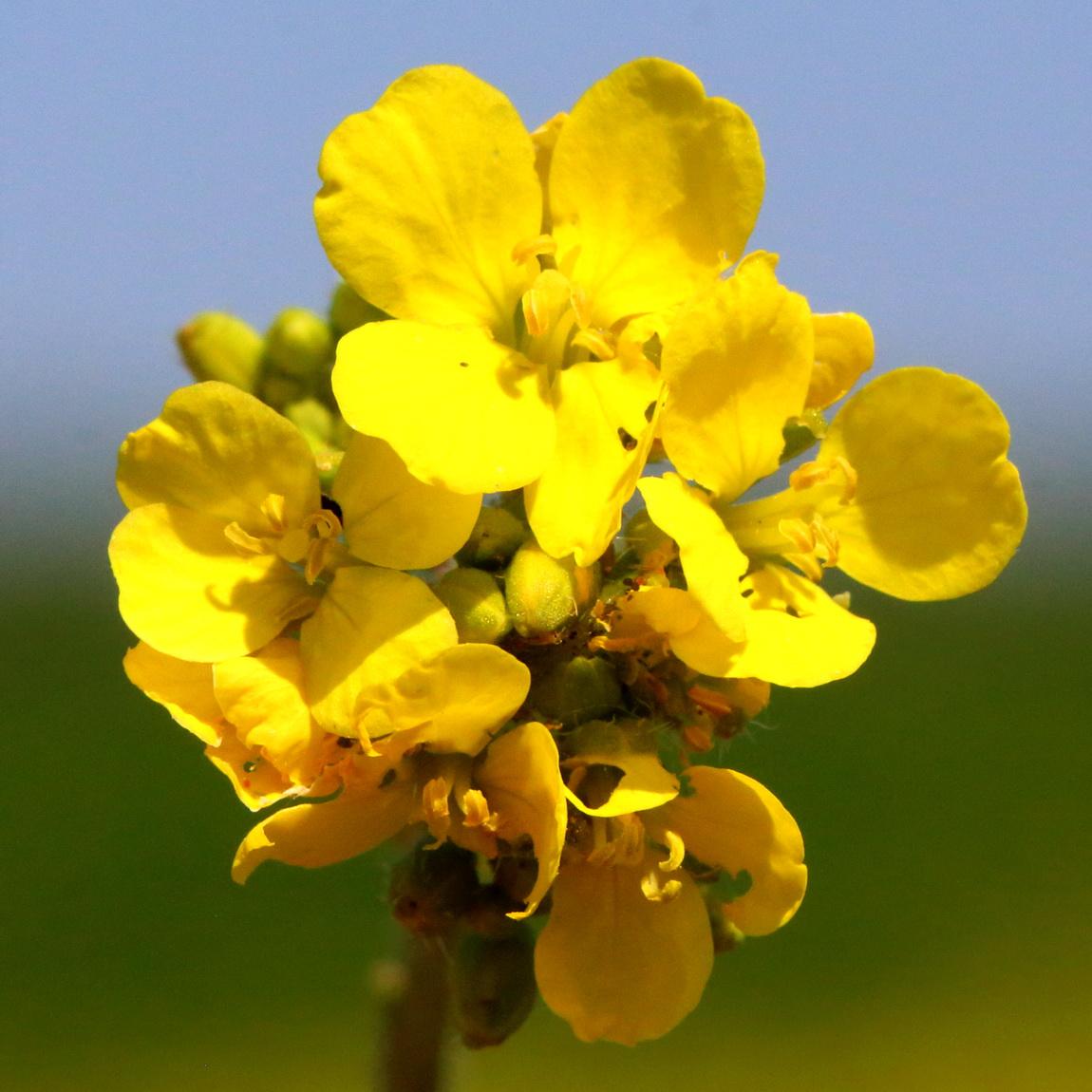 Горчица полевая (Sinapis arvensis)
