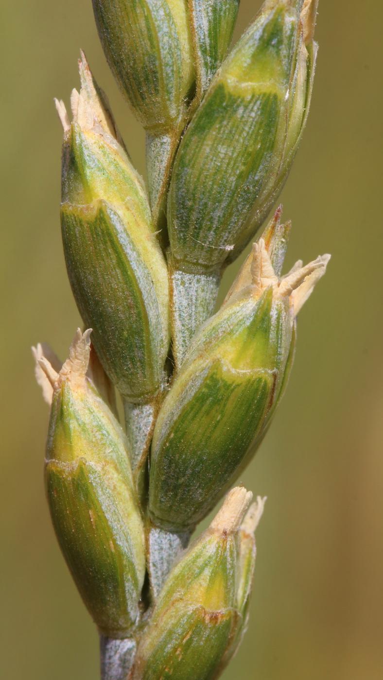 Пшеница спельта (Triticum spelta)