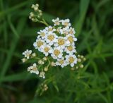 Achillea cartilaginea