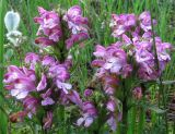 Pedicularis подвид arctoeuropaea