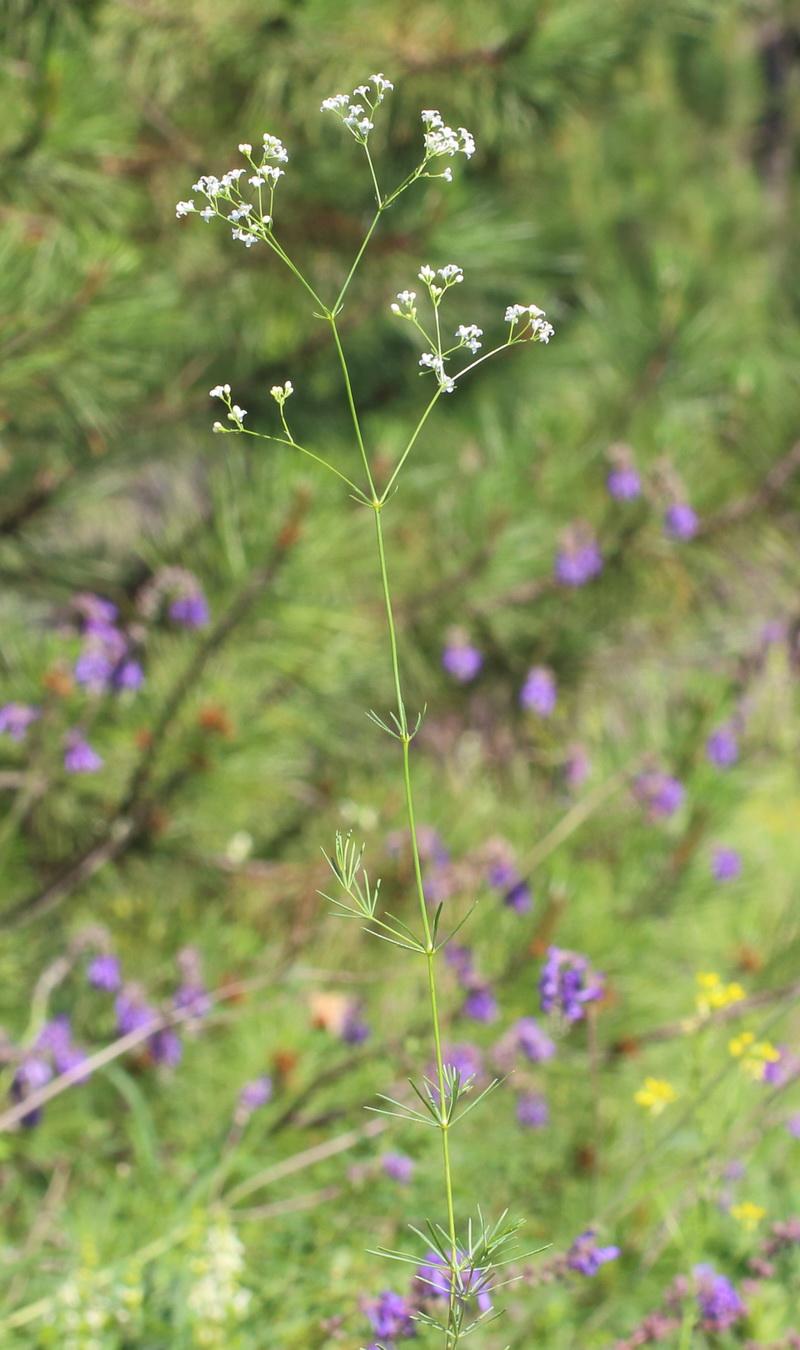 Подмаренник восьмилистный (Galium octonarium)