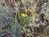 Taraxacum bessarabicum