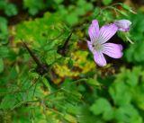 Geranium gracile