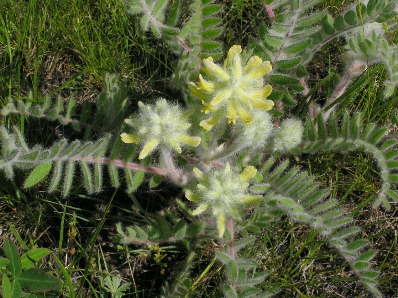 Изображение растения Astragalus dasyanthus.