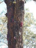 Eucalyptus gummifera
