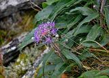 Saussurea igoschinae