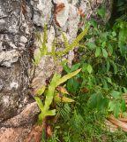 Phymatosorus