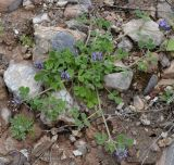 Trigonella rotundifolia