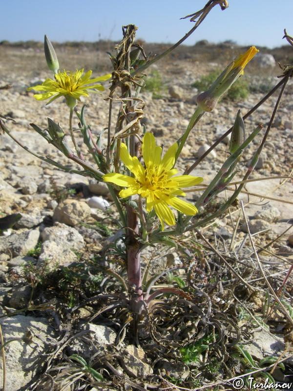 Изображение растения Tragopogon elatior.