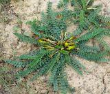 Astragalus macronyx