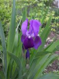 Iris marsica