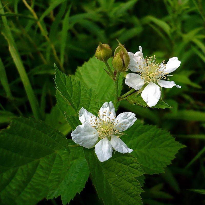 Ежевика обыкновенная (Rubus caesius). Автор фото: Сергей Апполонов