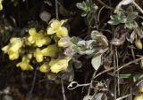 Alyssum cacuminum