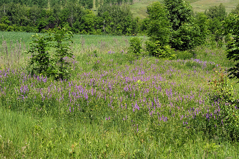 намаскар цветущие травы луговые моск обл фото название шапша поручил