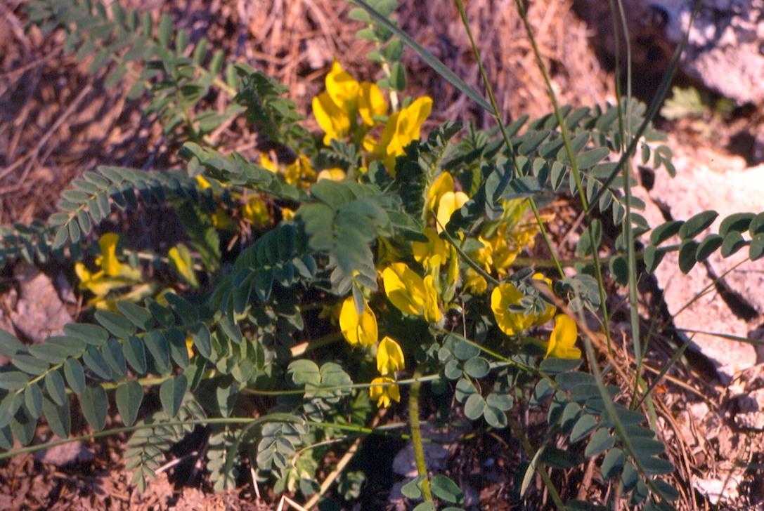 Изображение растения Astragalus kungurensis.