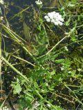 Sium latifolium