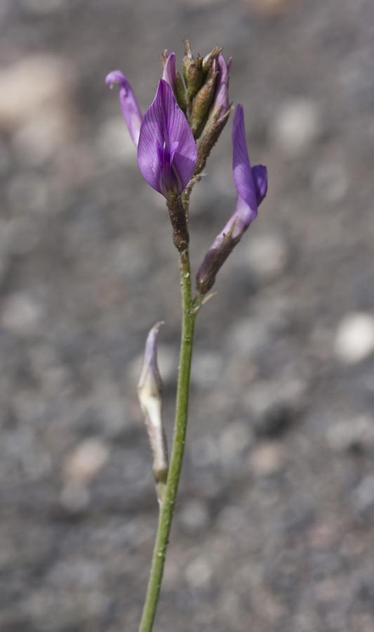 Изображение растения Astragalus shelkovnikovi.