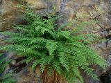 Woodsia fragilis