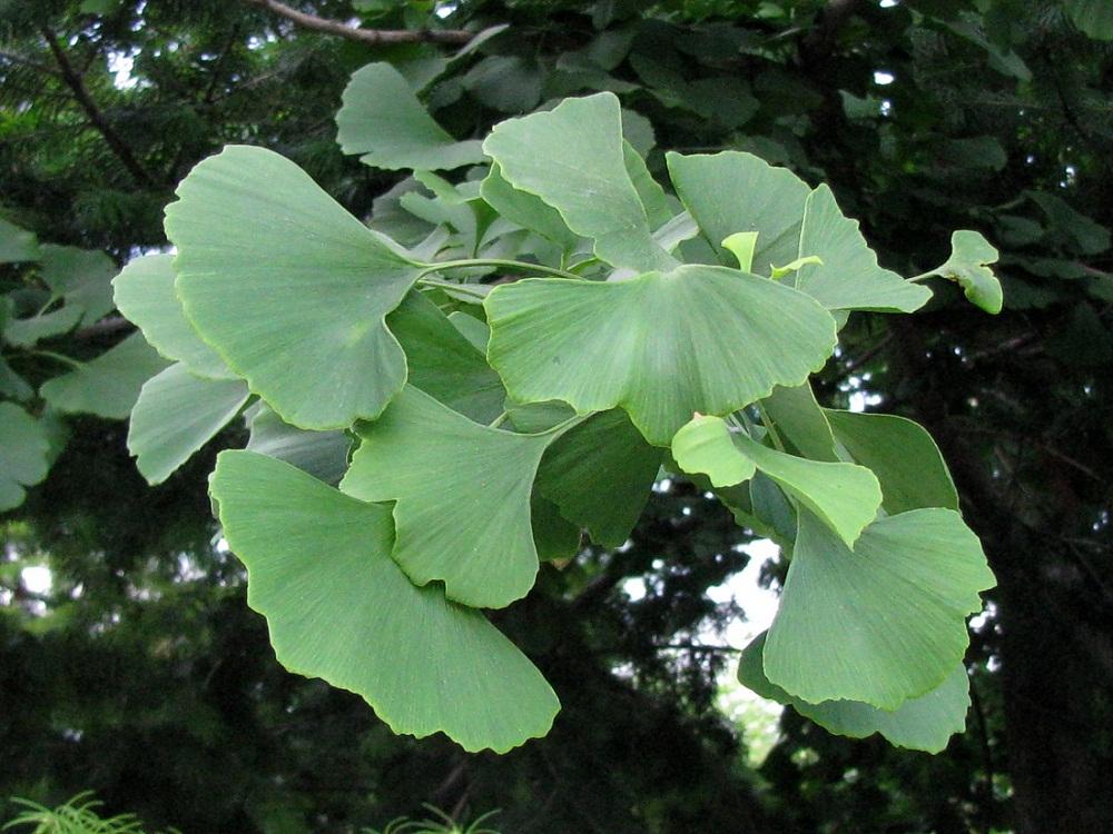 Гинкго билоба дерево выращивание в подмосковье 92