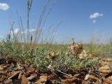 Astragalus arkalycensis