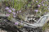 Thymus irtyschensis