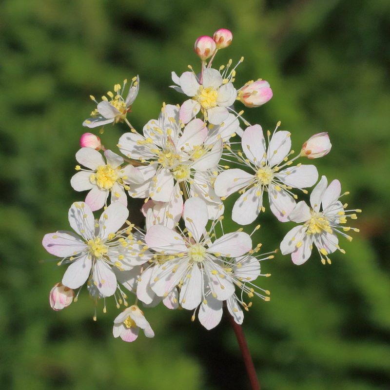 Лабазник обыкновенный (Filipendula vulgaris)