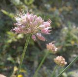 Allium psebaicum