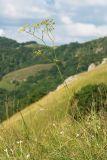Peucedanum longifolium