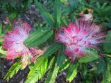 Calliandra brevipes