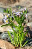 Tripolium vulgare
