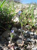 Buglossoides tenuiflora