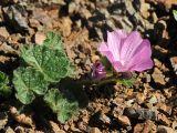 Sidalcea malviflora