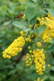 Berberis integerrima
