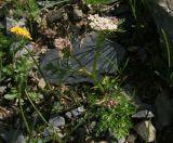 Carum meifolium