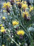 Chartolepis intermedia