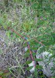 Lonicera stenantha