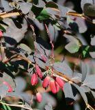 Berberis vulgaris f. atropurpurea
