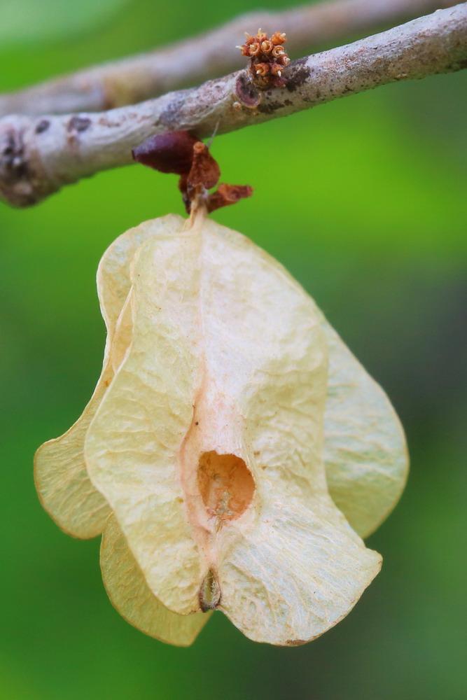 Вяз низкий (Ulmus pumila)