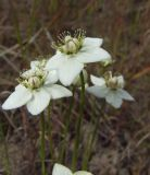 Parnassia palustris. Цветки. Магаданская обл., Ольский р-н, шоссе Магадан-Ола, поляна в лиственичнике около дороги. 22.07.2013.