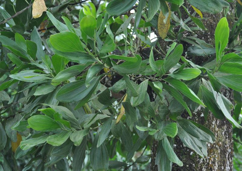 Изображение растения Acacia mangium.